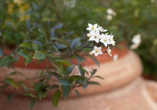 Hvit jasminblomst