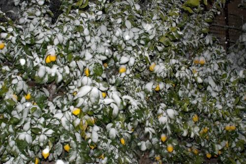 Sitrontre med sne