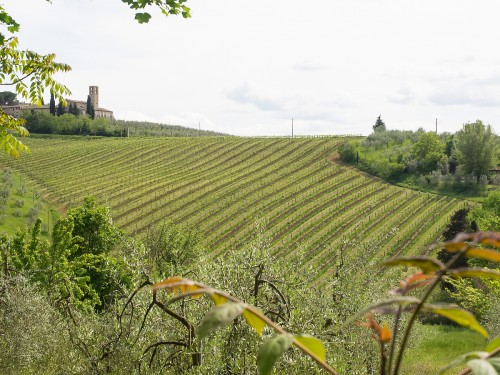 Nygrønne vinranker