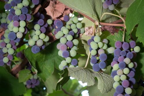 Ingen mangel på druer i år