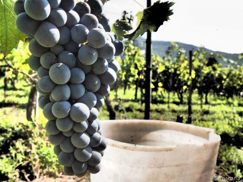 Fullmodne vindruer like før høsting. Foto: Catia Masetti