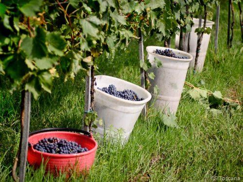 Druene høstes. Foto: Stefano Puzzuoli